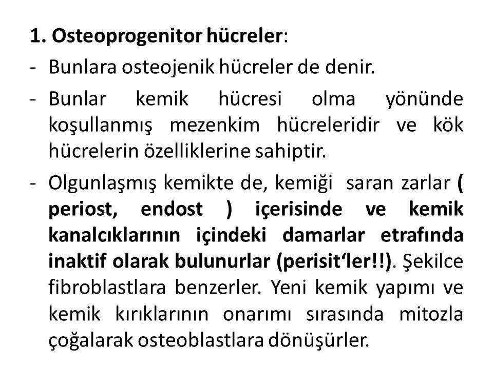 1. Osteoprogenitor hücreler: -Bunlara osteojenik hücreler de denir. -Bunlar kemik hücresi olma yönünde koşullanmış mezenkim hücreleridir ve kök hücrel
