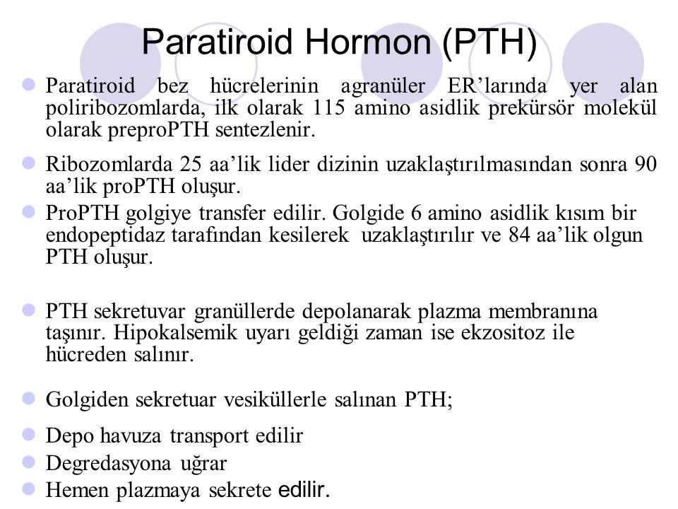 Paratiroid Hormon (PTH) Paratiroid bez hücrelerinin agranüler ER'larında yer alan poliribozomlarda, ilk olarak 115 amino asidlik prekürsör molekül olarak preproPTH sentezlenir.