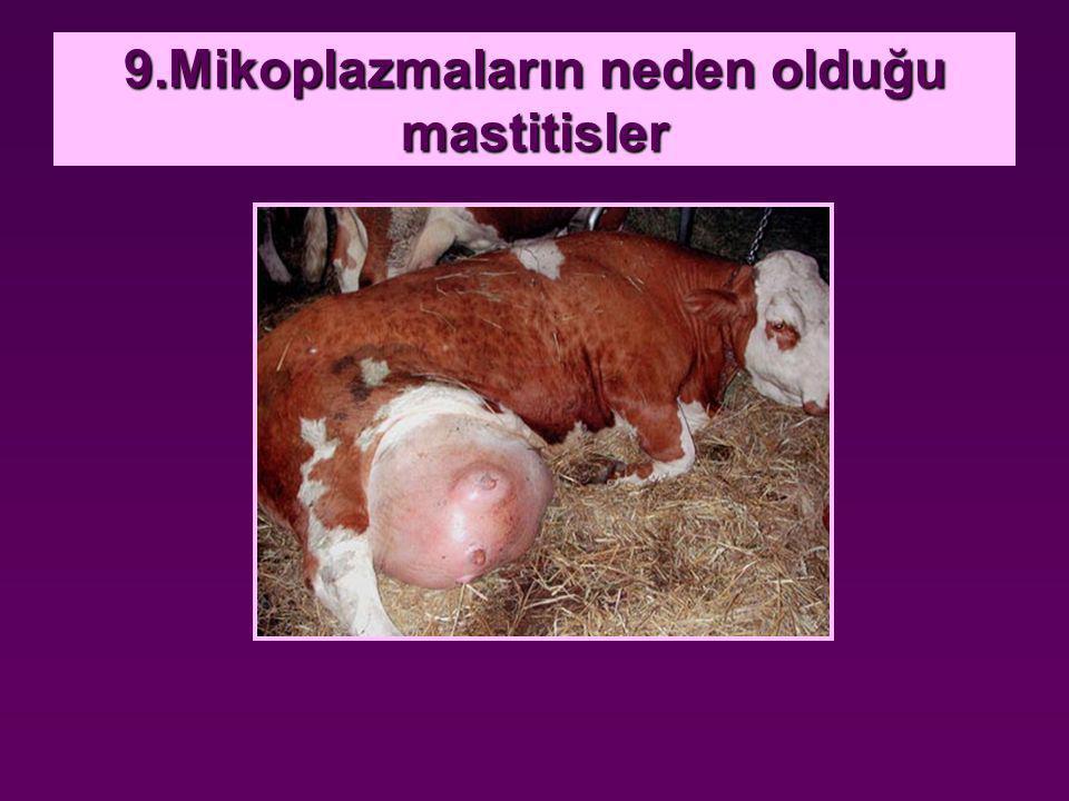 9.Mikoplazmaların neden olduğu mastitisler