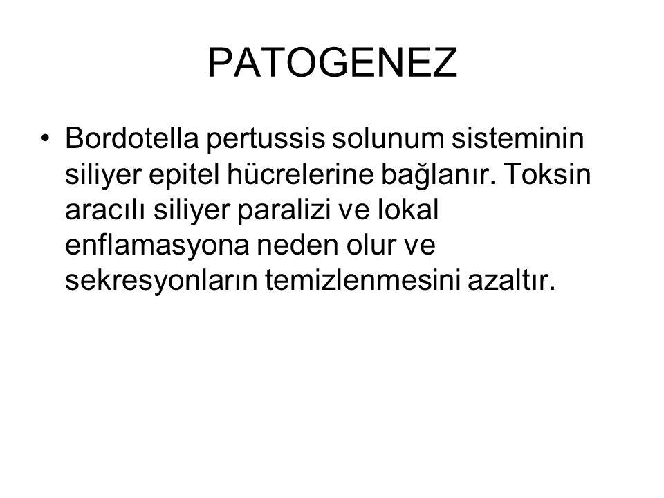 PATOGENEZ Bordotella pertussis solunum sisteminin siliyer epitel hücrelerine bağlanır. Toksin aracılı siliyer paralizi ve lokal enflamasyona neden olu