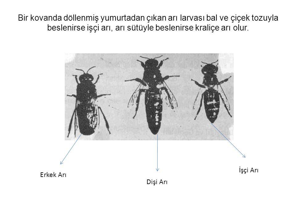 Bir kovanda döllenmiş yumurtadan çıkan arı larvası bal ve çiçek tozuyla beslenirse işçi arı, arı sütüyle beslenirse kraliçe arı olur.