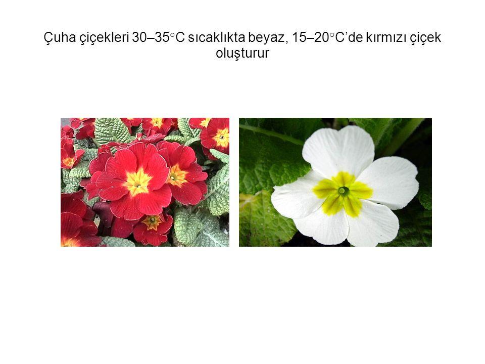Çuha çiçekleri 30–35°C sıcaklıkta beyaz, 15–20°C'de kırmızı çiçek oluşturur