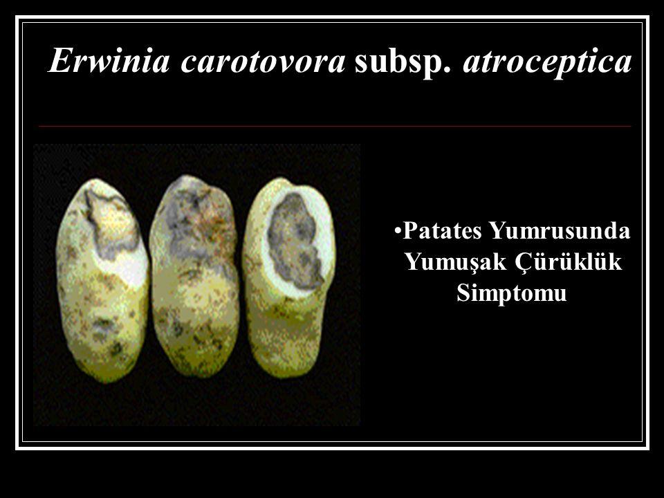 Erwinia carotovora subsp. atroceptica Patates Yumrusunda Yumuşak Çürüklük Simptomu