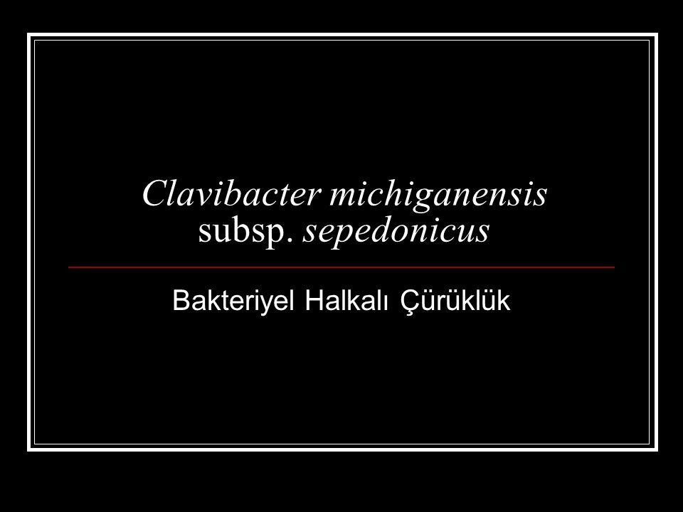 Clavibacter michiganensis subsp. sepedonicus Bakteriyel Halkalı Çürüklük