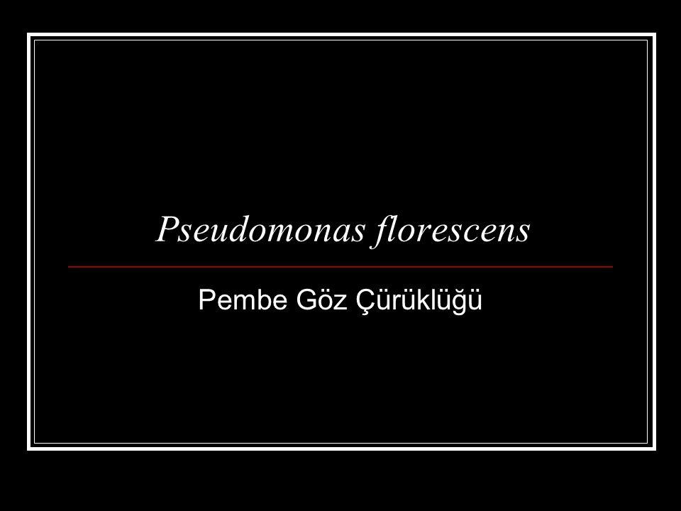 Pseudomonas florescens Pembe Göz Çürüklüğü