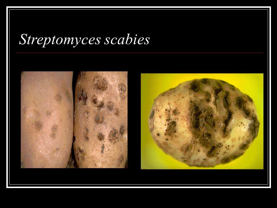 Streptomyces scabies
