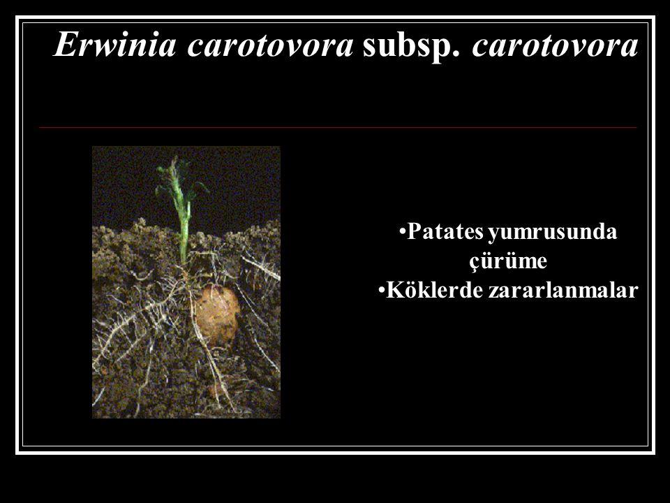 Patates yumrusunda çürüme Köklerde zararlanmalar