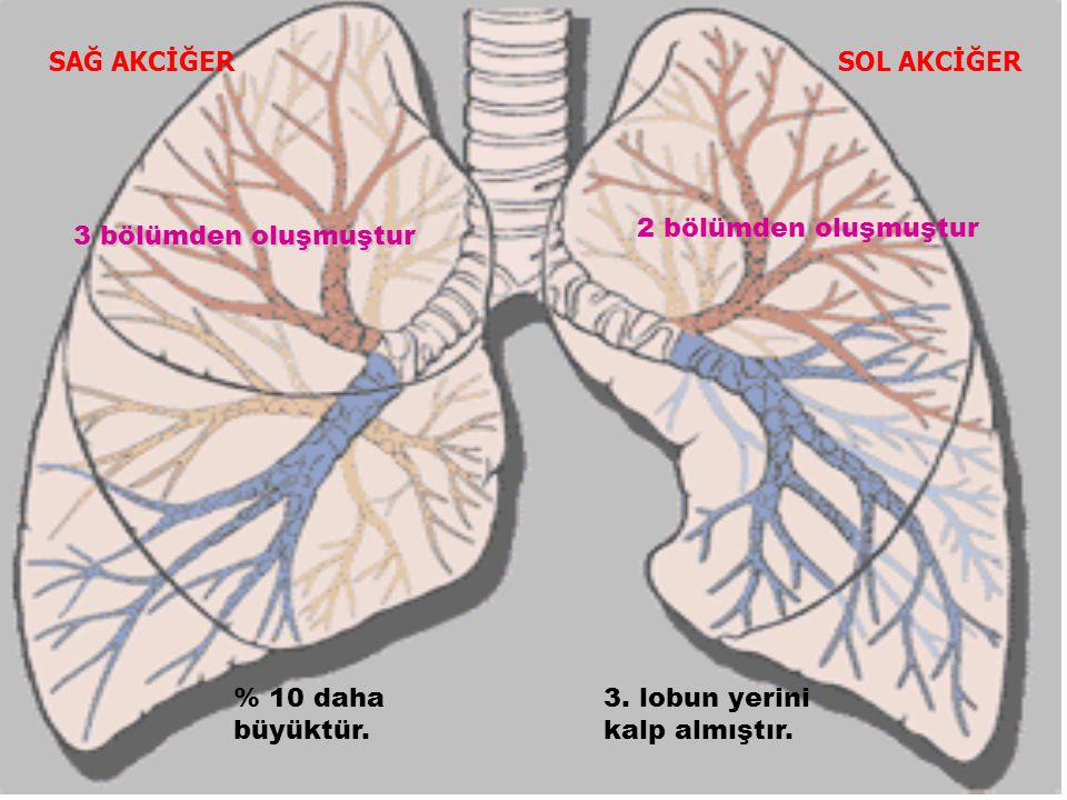 SAĞ AKCİĞERSOL AKCİĞER 2 bölümden oluşmuştur 3 bölümden oluşmuştur 3. lobun yerini kalp almıştır. % 10 daha büyüktür.