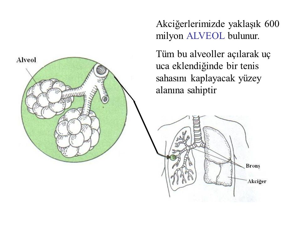 Akciğerlerimizde yaklaşık 600 milyon ALVEOL bulunur. Tüm bu alveoller açılarak uç uca eklendiğinde bir tenis sahasını kaplayacak yüzey alanına sahipti