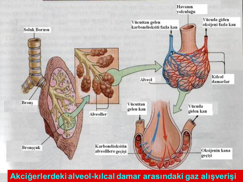 Akciğerlerdeki alveol-kılcal damar arasındaki gaz alışverişi