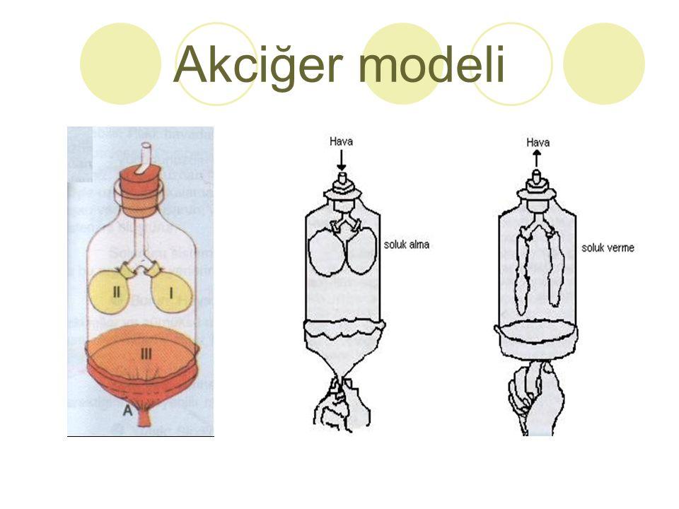 Akciğer modeli