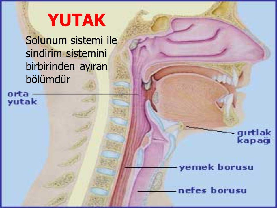 YUTAK Solunum sistemi ile sindirim sistemini birbirinden ayıran bölümdür