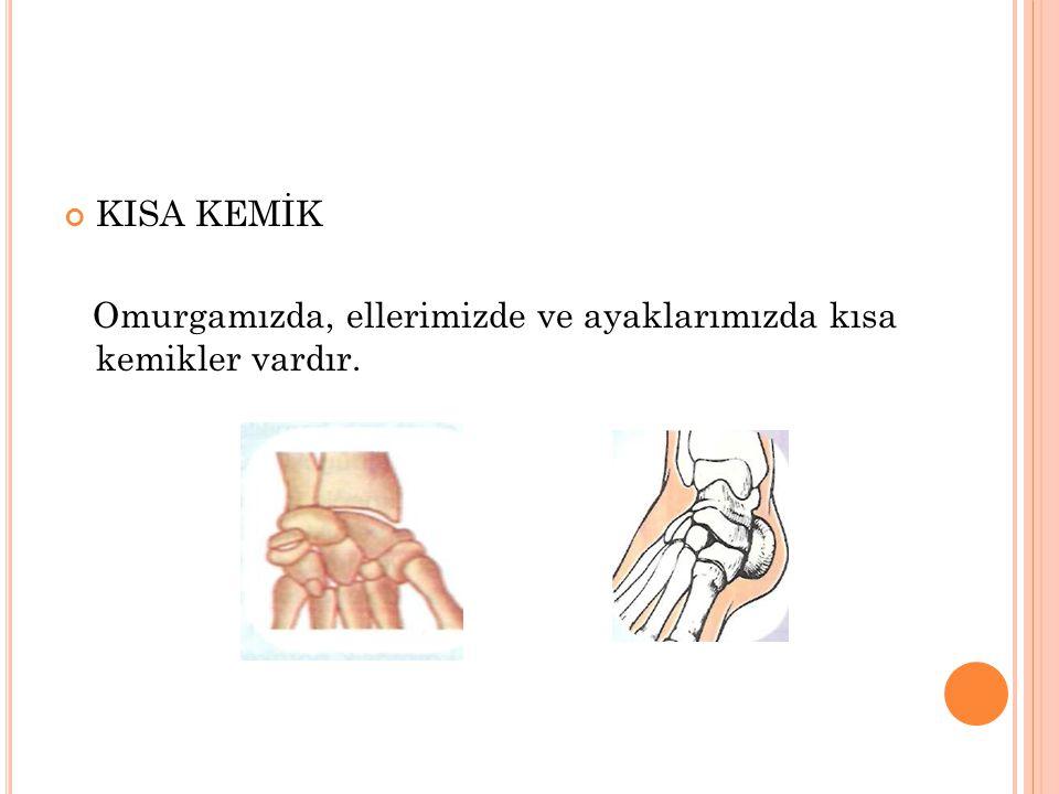 KISA KEMİK Omurgamızda, ellerimizde ve ayaklarımızda kısa kemikler vardır.