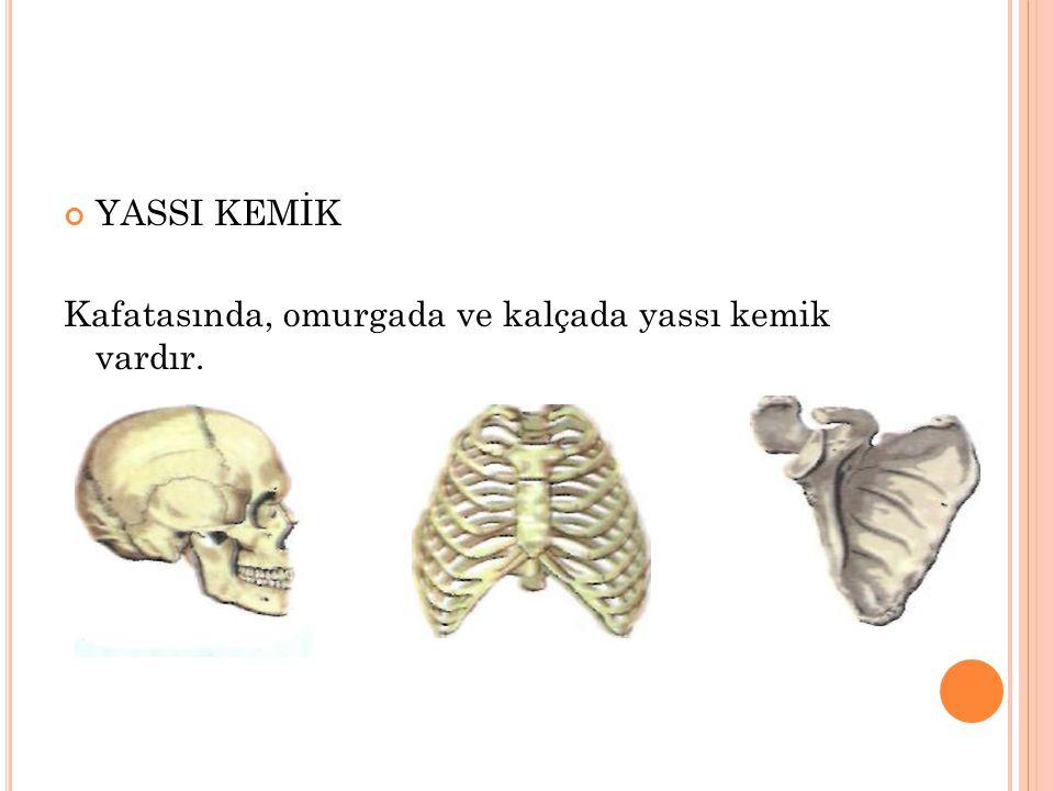 YASSI KEMİK Kafatasında, omurgada ve kalçada yassı kemik vardır.