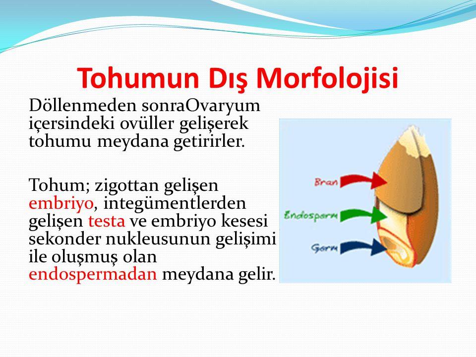 Tohumun Dış Morfolojisi Döllenmeden sonraOvaryum içersindeki ovüller gelişerek tohumu meydana getirirler. Tohum; zigottan gelişen embriyo, integümentl