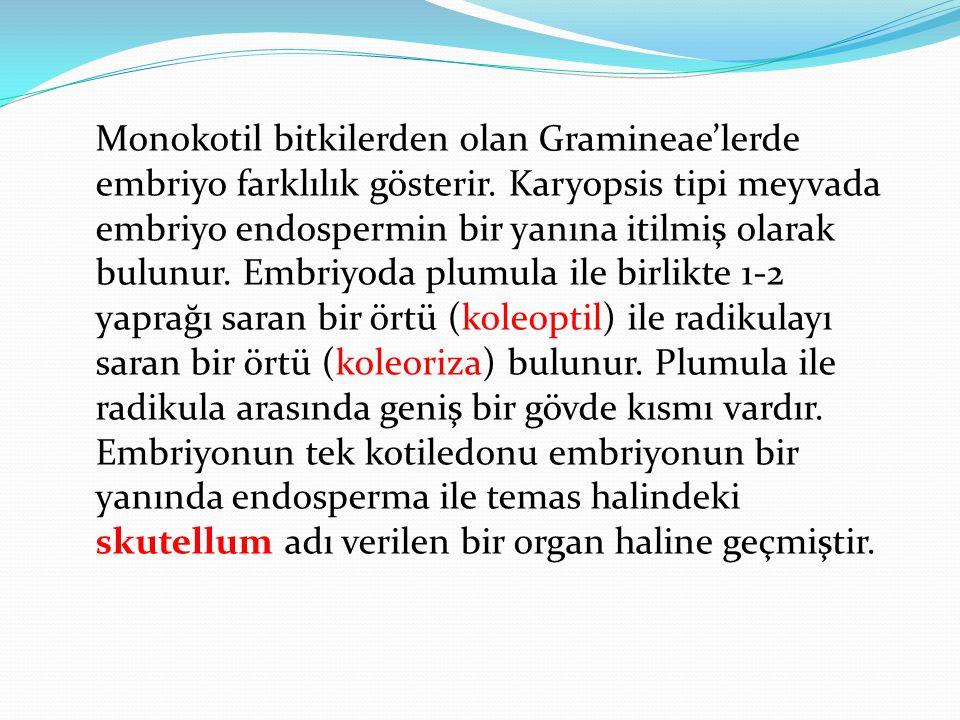 Monokotil bitkilerden olan Gramineae'lerde embriyo farklılık gösterir. Karyopsis tipi meyvada embriyo endospermin bir yanına itilmiş olarak bulunur. E