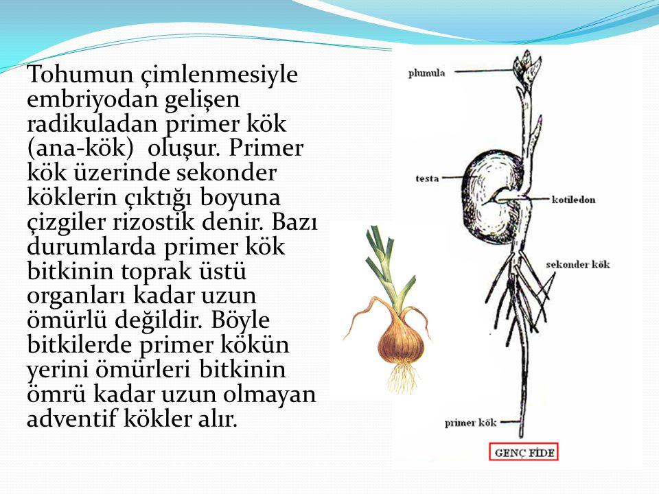 Tohumun çimlenmesiyle embriyodan gelişen radikuladan primer kök (ana-kök) oluşur. Primer kök üzerinde sekonder köklerin çıktığı boyuna çizgiler rizost