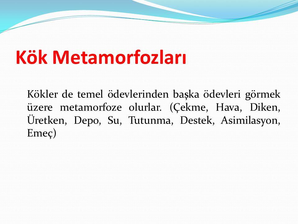 Kök Metamorfozları Kökler de temel ödevlerinden başka ödevleri görmek üzere metamorfoze olurlar. (Çekme, Hava, Diken, Üretken, Depo, Su, Tutunma, Dest