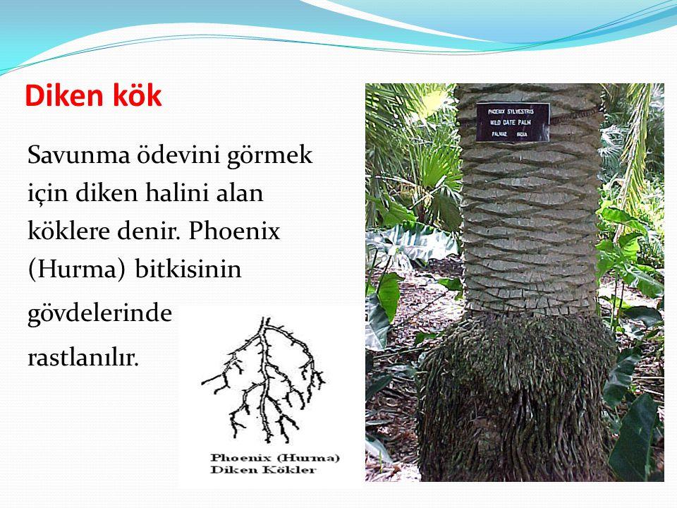 Diken kök Savunma ödevini görmek için diken halini alan köklere denir. Phoenix (Hurma) bitkisinin gövdelerinde rastlanılır.