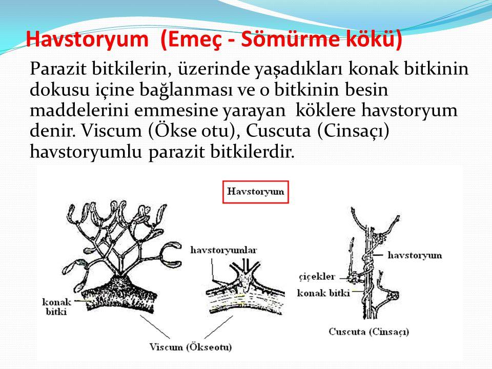 Havstoryum (Emeç - Sömürme kökü) Parazit bitkilerin, üzerinde yaşadıkları konak bitkinin dokusu içine bağlanması ve o bitkinin besin maddelerini emmes