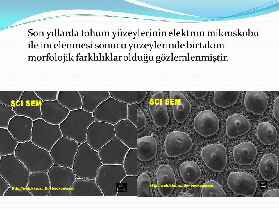 Genç köklerde perisikl'ı meydana getiren hücreler ince çeperli canlı parankima hücrelerinden oluşur.