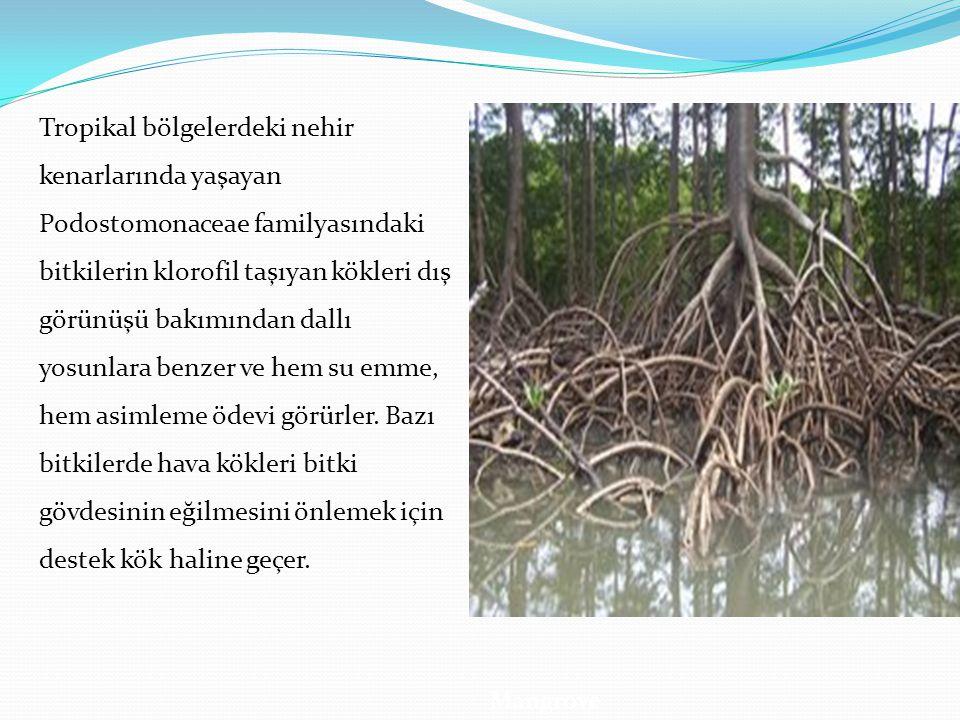 Tropikal bölgelerdeki nehir kenarlarında yaşayan Podostomonaceae familyasındaki bitkilerin klorofil taşıyan kökleri dış görünüşü bakımından dallı yosu