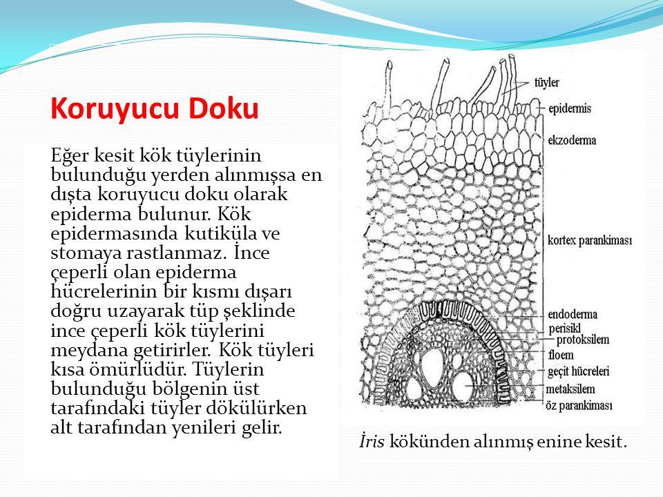 Koruyucu Doku Eğer kesit kök tüylerinin bulunduğu yerden alınmışsa en dışta koruyucu doku olarak epiderma bulunur. Kök epidermasında kutiküla ve stoma