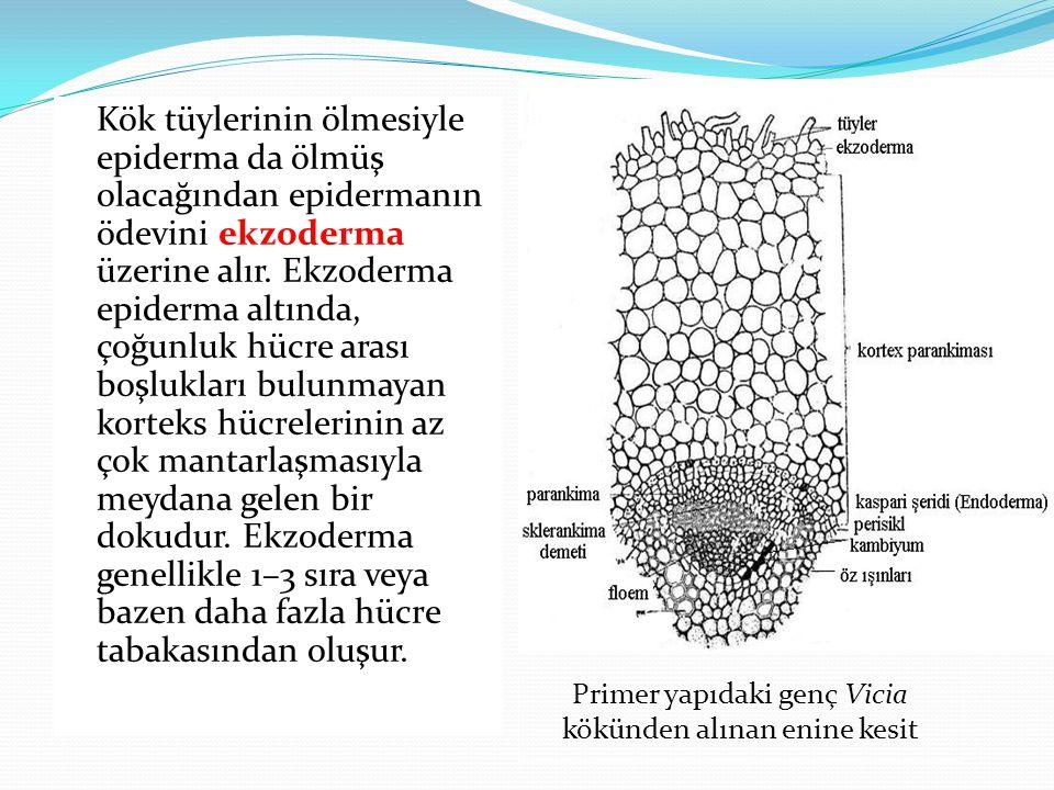 Kök tüylerinin ölmesiyle epiderma da ölmüş olacağından epidermanın ödevini ekzoderma üzerine alır. Ekzoderma epiderma altında, çoğunluk hücre arası bo