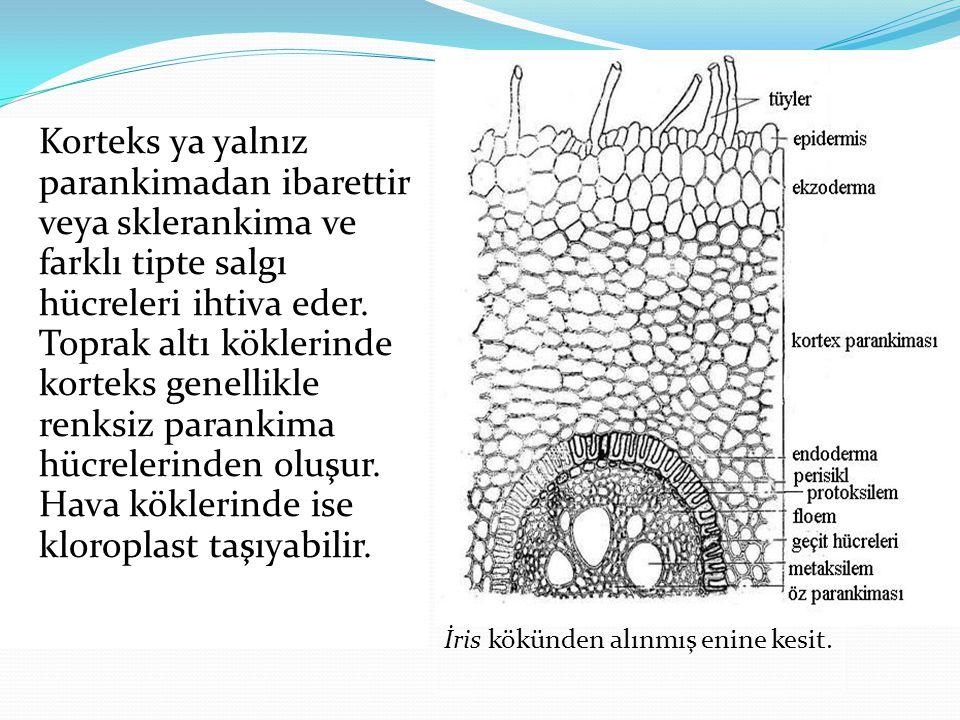 Korteks ya yalnız parankimadan ibarettir veya sklerankima ve farklı tipte salgı hücreleri ihtiva eder. Toprak altı köklerinde korteks genellikle renks