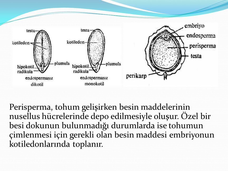 Kök Çeşitleri 1.Primer kök (ana kök) 2. Sekonder kök (yan kök) 3.
