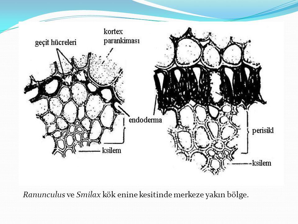 Ranunculus ve Smilax kök enine kesitinde merkeze yakın bölge.