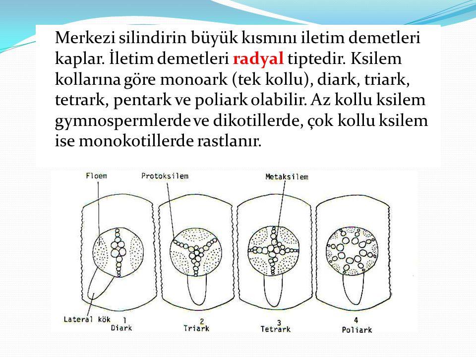 Merkezi silindirin büyük kısmını iletim demetleri kaplar. İletim demetleri radyal tiptedir. Ksilem kollarına göre monoark (tek kollu), diark, triark,
