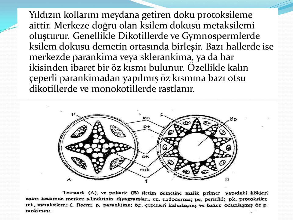 Yıldızın kollarını meydana getiren doku protoksileme aittir. Merkeze doğru olan ksilem dokusu metaksilemi oluşturur. Genellikle Dikotillerde ve Gymnos
