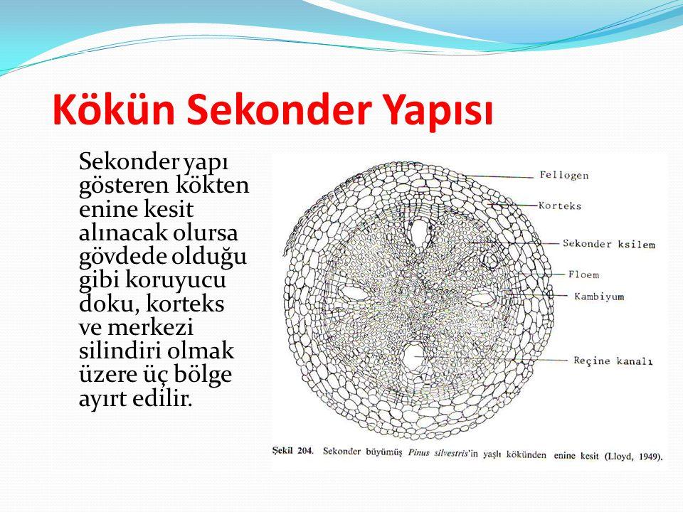 Kökün Sekonder Yapısı Sekonder yapı gösteren kökten enine kesit alınacak olursa gövdede olduğu gibi koruyucu doku, korteks ve merkezi silindiri olmak