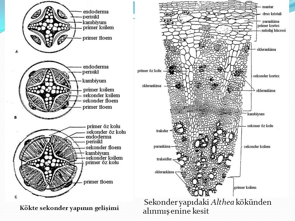 Kökte sekonder yapının gelişimi Sekonder yapıdaki Althea kökünden alınmış enine kesit