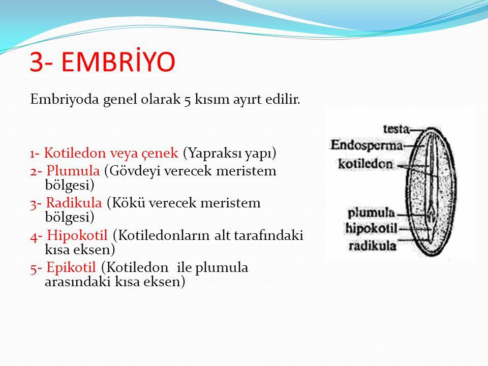 3- EMBRİYO Embriyoda genel olarak 5 kısım ayırt edilir. 1- Kotiledon veya çenek (Yapraksı yapı) 2- Plumula (Gövdeyi verecek meristem bölgesi) 3- Radik