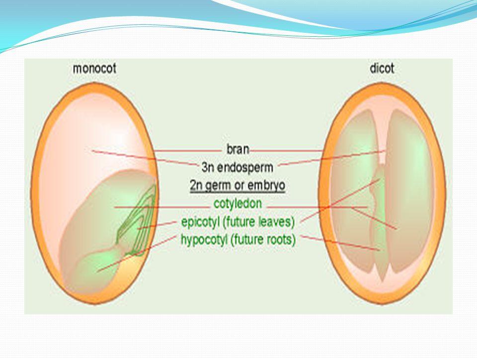 Monokotil bitkilerden olan Gramineae'lerde embriyo farklılık gösterir.