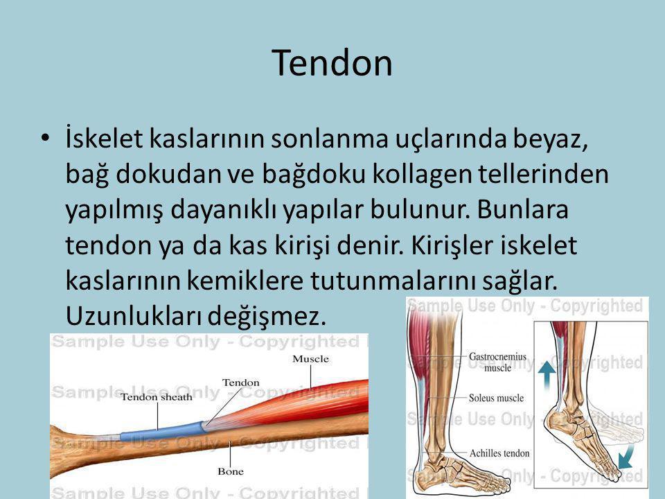Tendon İskelet kaslarının sonlanma uçlarında beyaz, bağ dokudan ve bağdoku kollagen tellerinden yapılmış dayanıklı yapılar bulunur. Bunlara tendon ya
