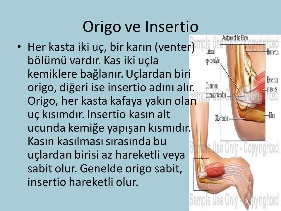 Origo ve Insertio Her kasta iki uç, bir karın (venter) bölümü vardır. Kas iki uçla kemiklere bağlanır. Uçlardan biri origo, diğeri ise insertio adını
