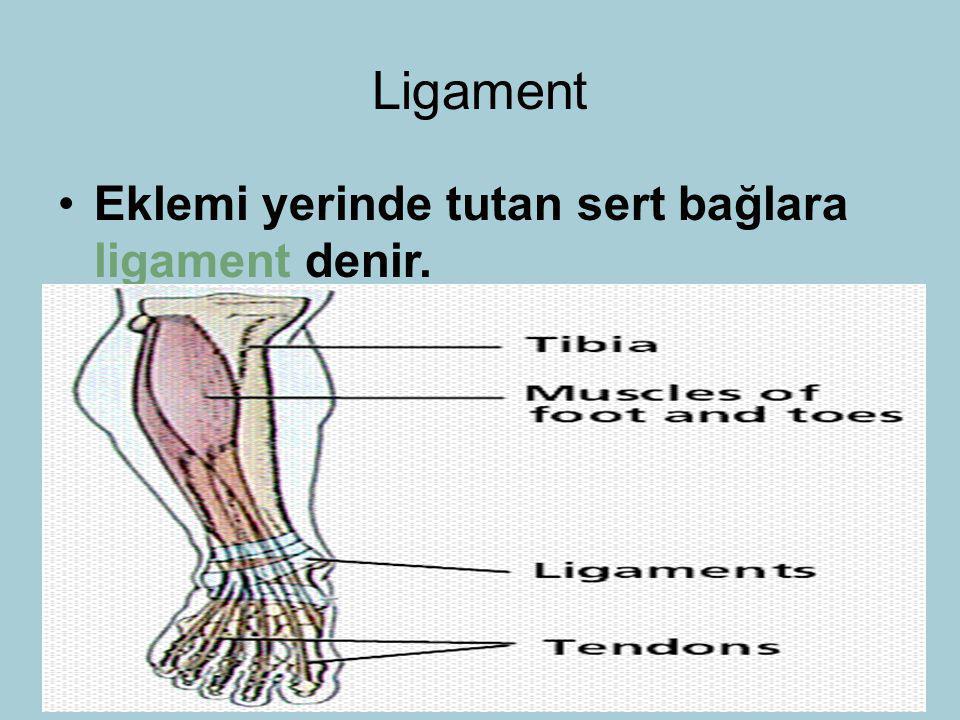 Ligament Eklemi yerinde tutan sert bağlara ligament denir.