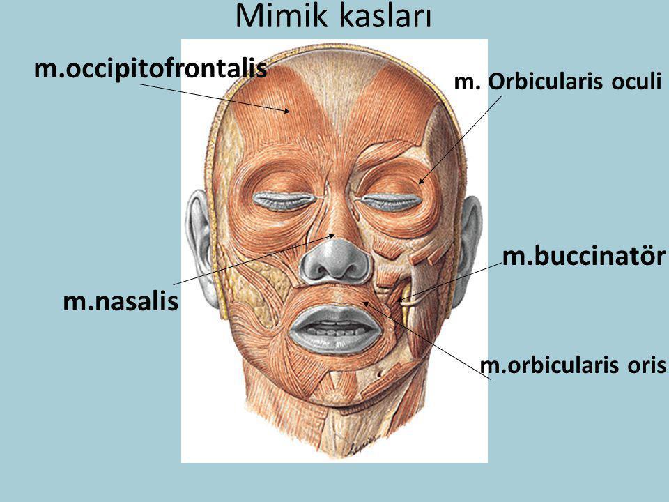 Mimik kasları m. Orbicularis oculi m.occipitofrontalis m.nasalis m.orbicularis oris m.buccinatör