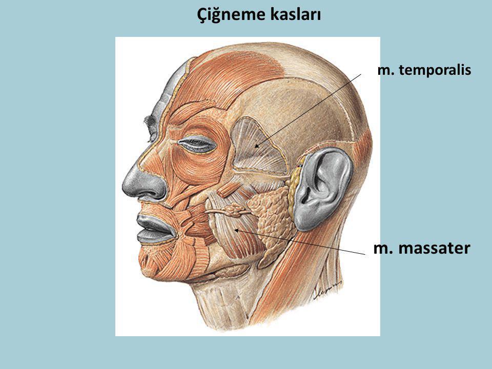 Çiğneme kasları m. massater m. temporalis