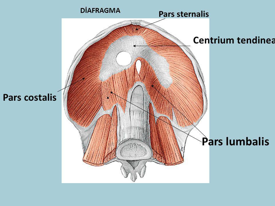 DİAFRAGMA Pars sternalis Pars lumbalis Pars costalis Centrium tendinea