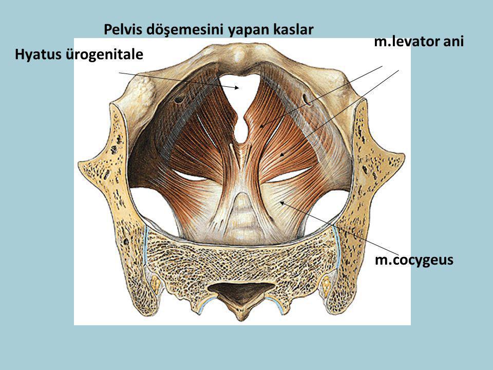 Pelvis döşemesini yapan kaslar m.levator ani m.cocygeus Hyatus ürogenitale