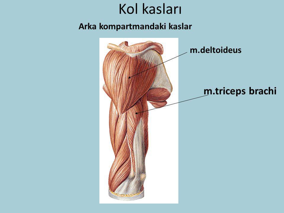 Kol kasları m.deltoideus m.triceps brachi Arka kompartmandaki kaslar