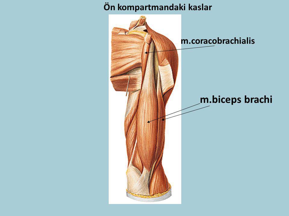 Ön kompartmandaki kaslar m.biceps brachi m.coracobrachialis