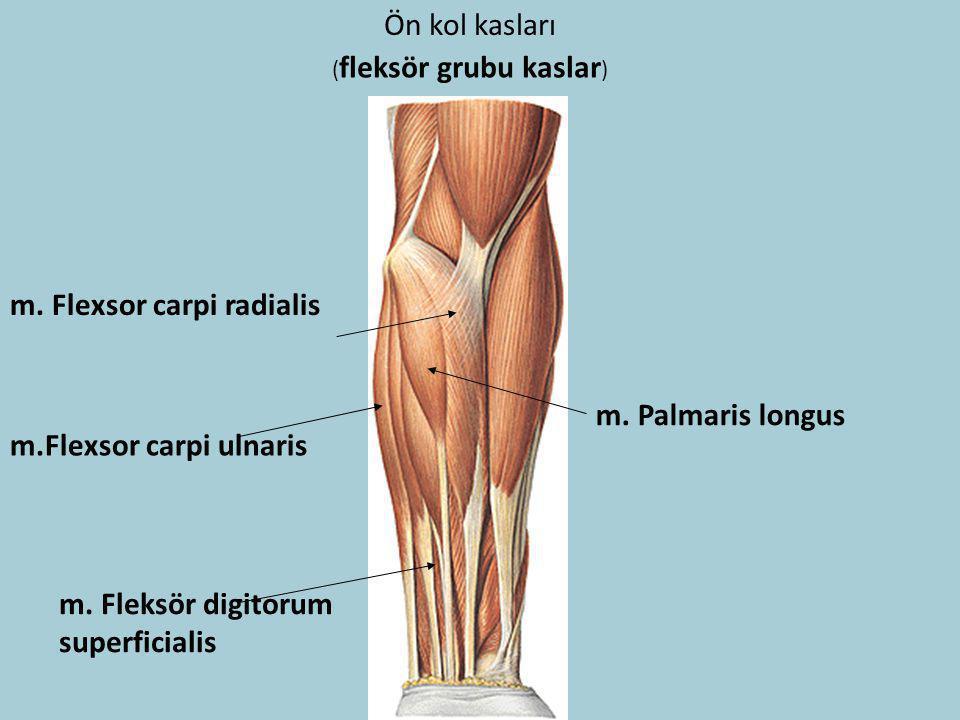 Ön kol kasları ( fleksör grubu kaslar ) m. Flexsor carpi radialis m. Palmaris longus m.Flexsor carpi ulnaris m. Fleksör digitorum superficialis