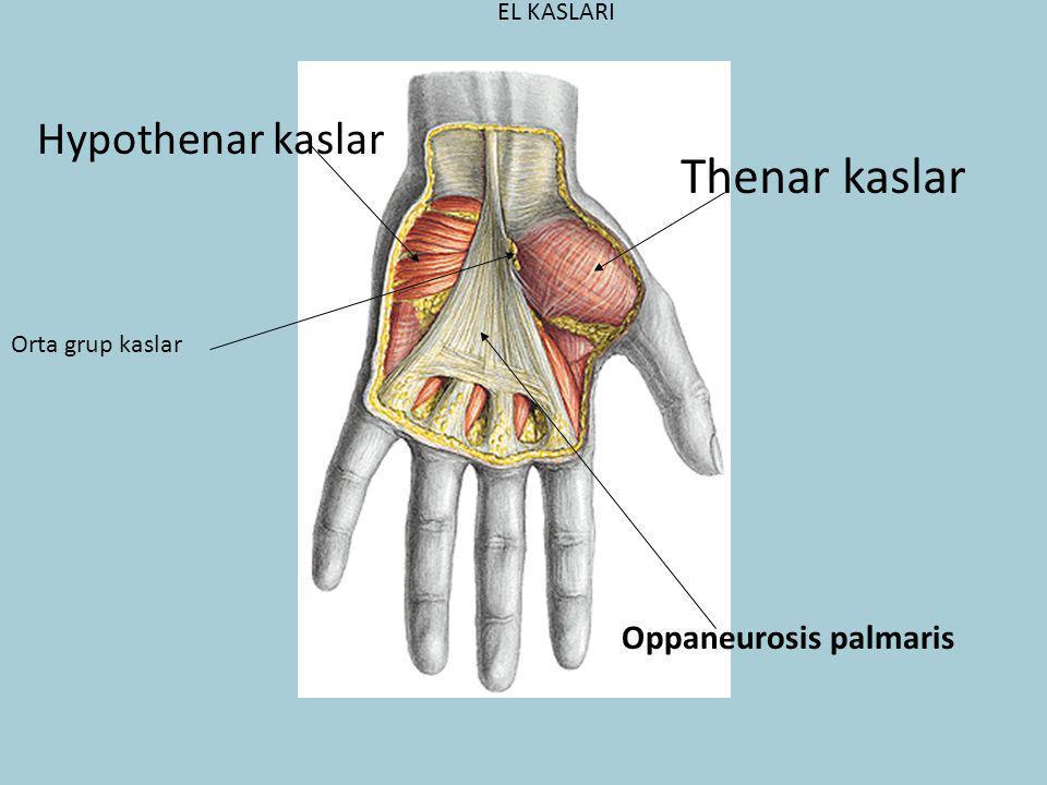 Oppaneurosis palmaris EL KASLARI Thenar kaslar Hypothenar kaslar Orta grup kaslar