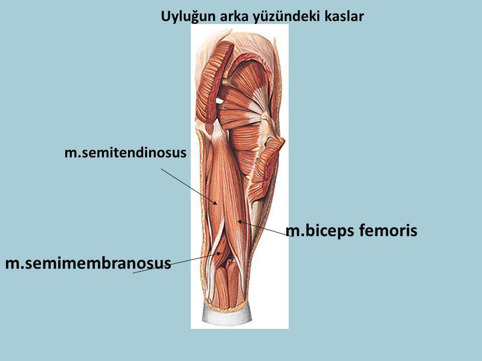 Uyluğun arka yüzündeki kaslar m.biceps femoris m.semitendinosus m.semimembranosus