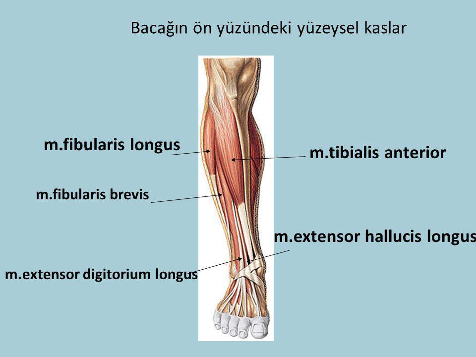 Bacağın ön yüzündeki yüzeysel kaslar m.tibialis anterior m.fibularis longus m.fibularis brevis m.extensor hallucis longus m.extensor digitorium longus